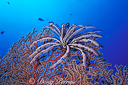 silver crinoid or feather star, Cenometra bella, on gorgonian coral, soft coral, or octocoral, Palau, Micronesia, ( Western Pacific Ocean )