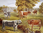 Longhorn cattle owned by Sir John Harpur-Crewe, Calke Abbey. Robert Bakewell (1725-1795) of Dishley, Leicestershire, improved the breed. Dual purpose, beef and dairy. Chromolithograph  1885.