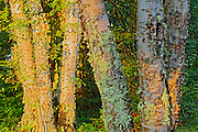 Lichen covered birch trees in the boreal forest at sunrise<br /> Neys Provincial Park<br /> Ontario<br /> Canada
