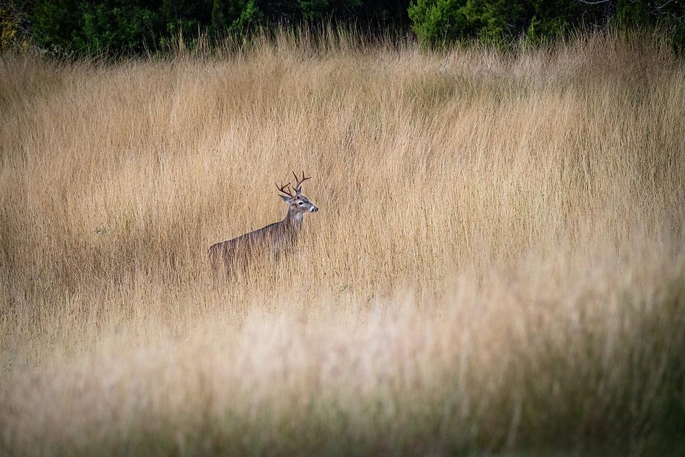 Lone deer, Brodie field, South Austin, Texas