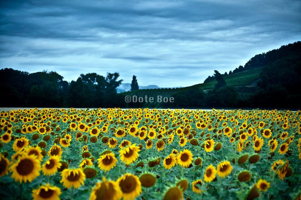 sunflower field in France Aude