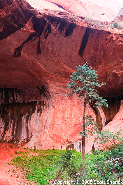 A tall tree in the Kolob Canyon section of Zion National Park in Utah. Missoula Photographer