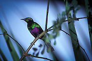 An african emerald starling (Lamprotornis iris). The range of these birds is small, contained within a small portion of west Africa, including Sierra Leone, Guinea to Ghana.