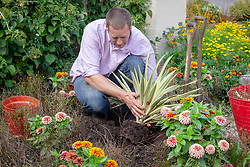 Removing dead flowers in border and replacing with a foliage plant - yucca.