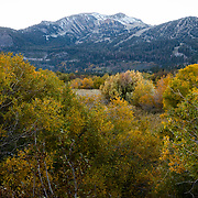 The Fall season in the Eastern Sierras is one of the most beautiful seasons to visit. Famed Mammoth Mountain can be seen over a grove of colorful trees and bushes.