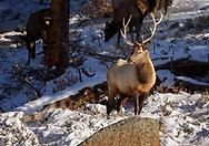 Bull elk during golden hour in the fresh snow