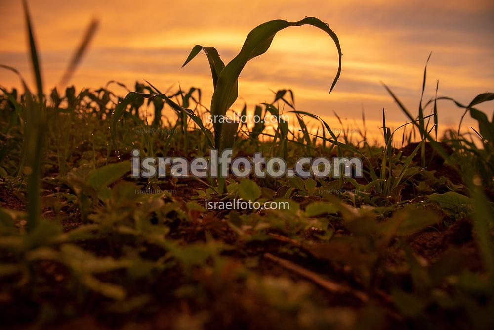 Cornfield in Tultepec, Mexico. / Campo de maíz en Tultepec, Estado de México, Mexico.