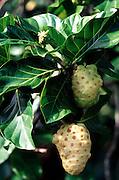 Noni, fruit, Hawaii<br />
