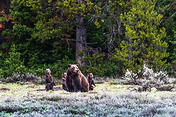 Grand Teton Grizzly family grizzly 399 and her four cubs.<br /> <br /> Contact for custom print options or inquiries about stock usage  - dh@theholepicture.com