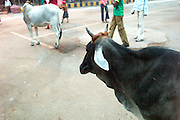 India-Agra Holy Cow