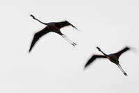 Greater Flamingos (Phoenicopterus roseus) in flight, silhouetted against sky, motion blur, Camargue, France