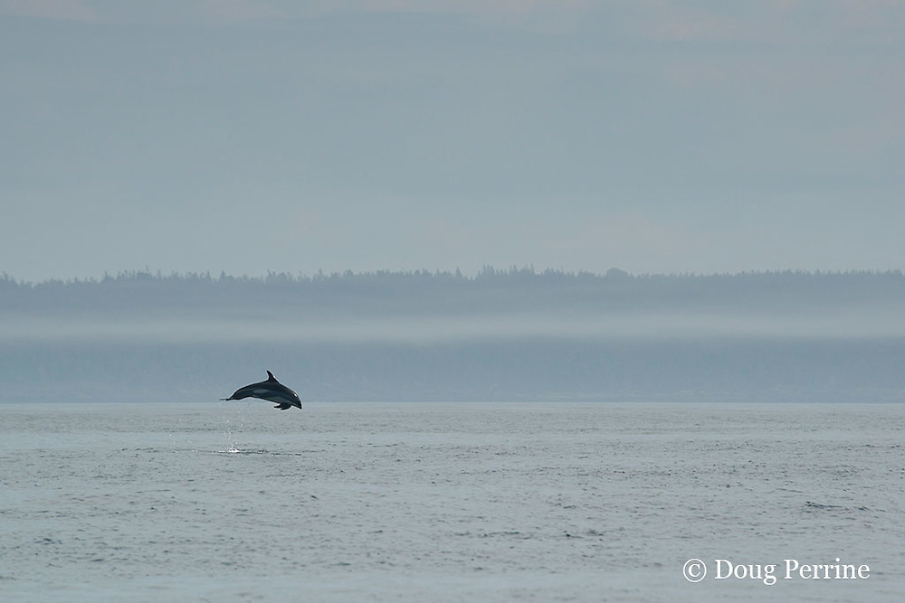 Atlantic white-sided dolphin, Lagenorhynchus acutus, leaping into the air off Long Island, Digby Neck, Bay of Fundy, Nova Scotia, Canada ( North Atlantic Ocean )
