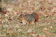 Fox squirrel in habitat