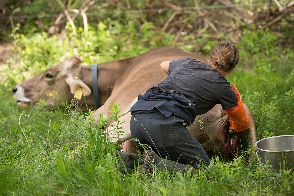 Female farmer assisting Brown Swiss Cow in labor