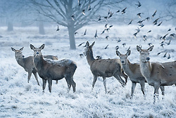 © Licensed to London News Pictures. 24/01/2019. London, UK. Frost covered deer in Richmond Park, West London on a cold winter morning, as temperatures across the UK drop dramatically. Some parts of the UK are expecting snowfall following a spell of low temperatures. Photo credit: Peter Macdiarmid/LNP