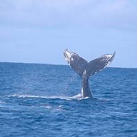 Humpback Whale, Megaptera novaeangliae, Tail Wave, Maui Hawaii