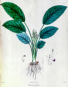 Curcuma parviflora from a Journal Article by Nathaniel Wallich in 1830