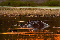 A hippo peaks out above the water in a pond at sunset, Kwando Concession, Linyanti Marshes, Botswana.