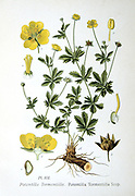 Tormentil (Potentilla tormentilla: P. Erecta L.) a slender perrenial. Roots were boiled in milk to treat diarrhoea in children  From A Masclef 'Atlas des Plantes de France', Paris, 1893.