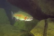 Steelhead Trout, White River, Ashland Co. WI<br /> <br /> Roger Peterson/ENGBRETSON UNDERWATER PHOTO
