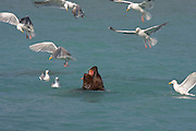 Alaska. A bull Steller's Sea Lion (Eumetopias jubatus) attracts glaucous-winged gulls by feasting on pink salmon  in Port Valdez.