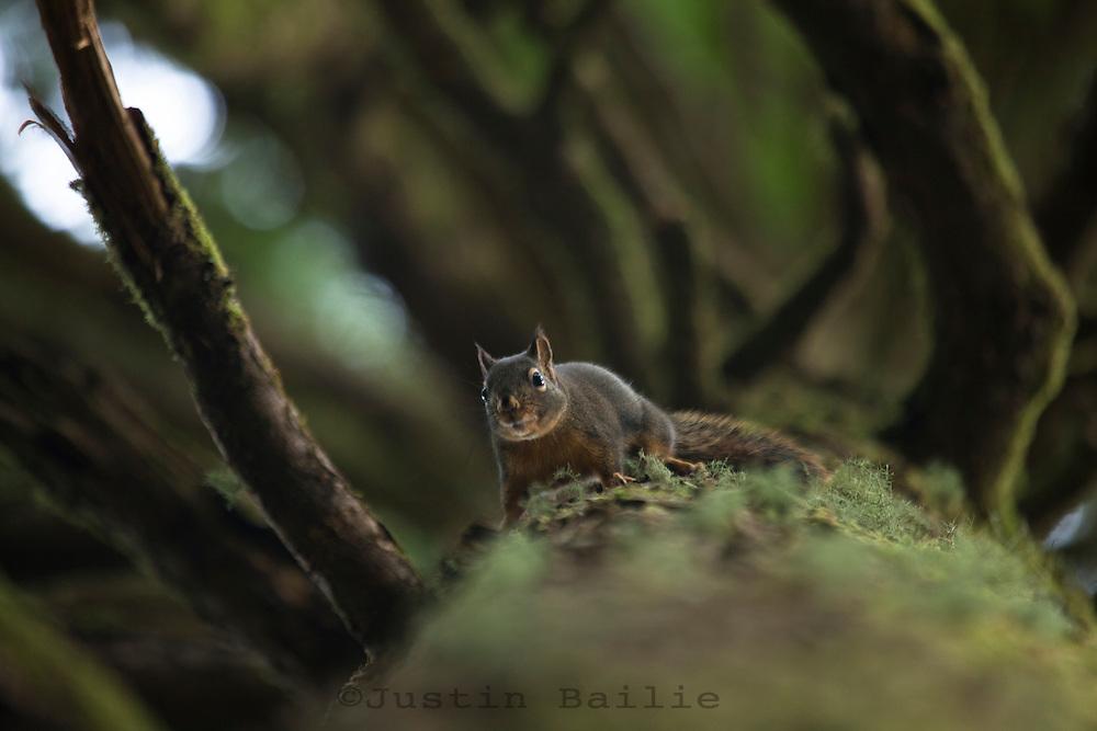 Funny view of a squirrel looking down a tree on Neahkahnie Mountain near Manzanita, Oregon.