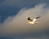Northern Gannet. Viewed from the deck of the MV Explorer. Image taken with a Nikon Df camera and 70-200 mm f/4 VR lens.