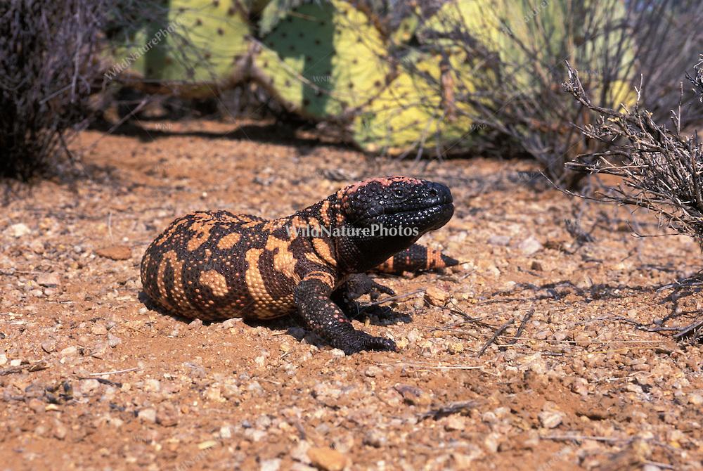 Gila Monster (Heloderma suspectum); Sonoran Desert, Arizona