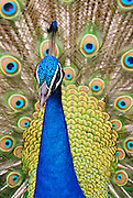 The feathers are full in this male Peacock.