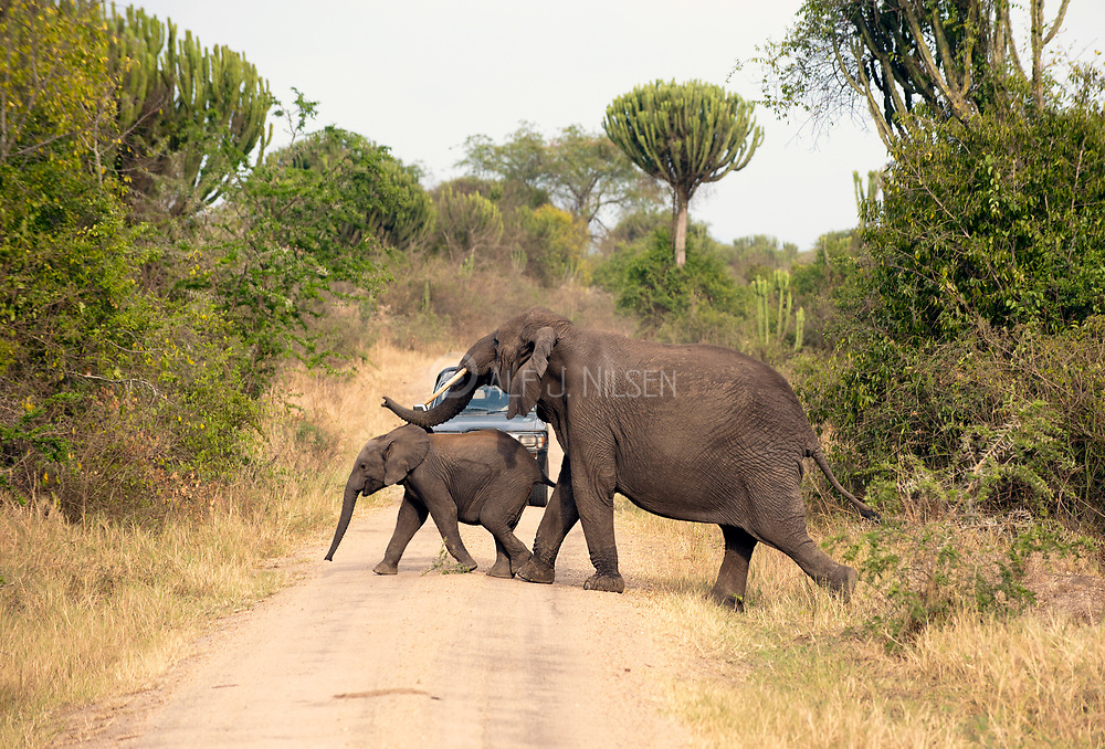 Female elephant and her baby criossing the road in Queen Elizabeth National Park, Uganda, right in front of a car.