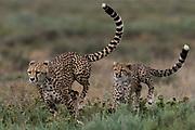 A female cheetah (Acinonyx jubatus) and its cub sparring, Ndutu, Ngorongoro Conservation Area, Serengeti, Tanzania.