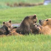 Alaskan Brown Bear, (Ursus middendorffi) Mother nursing two cubs in grass. Katmai National Park. Alaska. Spring.