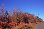 A08JW5 Road and verge in autumn Suffolk Sandlings Rendlesham England
