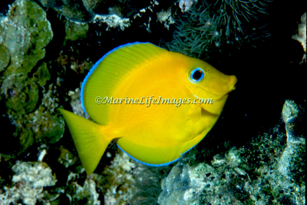 Blue Tang juveniles are entirely yellow except blue edge on dorsal and anal fins; picture taken Key Largo.