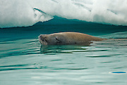 Crabeater seal takes a swim near my zodiac boat in the Lemaire Channel, Antarctica.