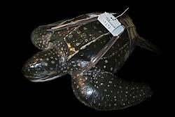 Diorama of Letherback Sea Turtle, Dermochelys coriacea, with a satellite tracking system transmitter, Juno Beach, Florida, Atlantic Ocean