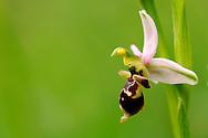 France, Languedoc Roussillon, Gard (30), Cevennes, fleur de Ophrys bécasse, N.L.: Ophrys scolopax, (Orchidacées)