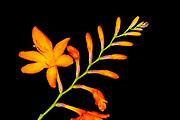 Crocosmia (Crocosmia masonorum) orange flower spike, growing wild, Oxfordshire, UK.