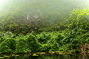 Wild jungle ovegrowth with fog and mist in the saturated green colors of the vegetation.