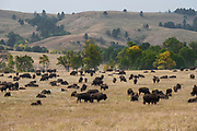 Wildlife Photographs of Coyote and Buffalo
