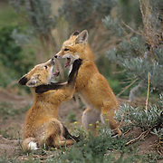 Red Fox (Vulpus fulva). A pair of fox pups play fighting over a den during the springtime in Montana.