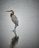 Great Blue Heron. Black Point Wildlife Drive, Merritt Island National Wildlife Refuge. Image taken with a Nikon Df camera and 300 mm f/4 lens (ISO 800, 300 mm, f/4, 1/1250 sec).