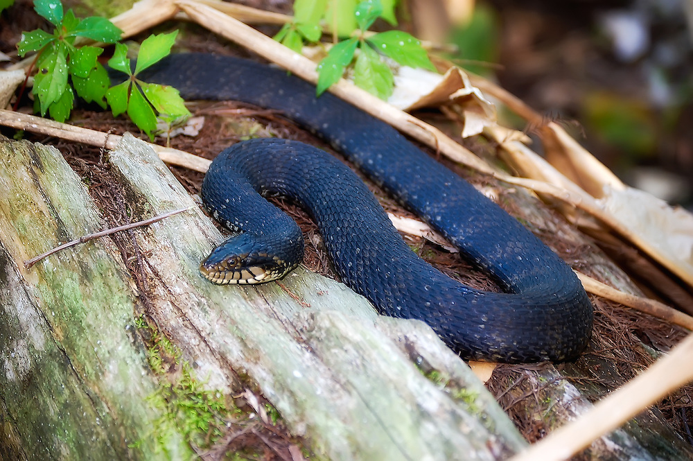 A banded watersnake resting on a submerged log in the Fakahatchee Strand.