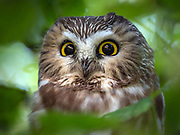 Northen saw-whet owl in Central park, NYC