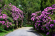 Driveway & Rhododendron, 189 Further Lane, East Hampton, NY