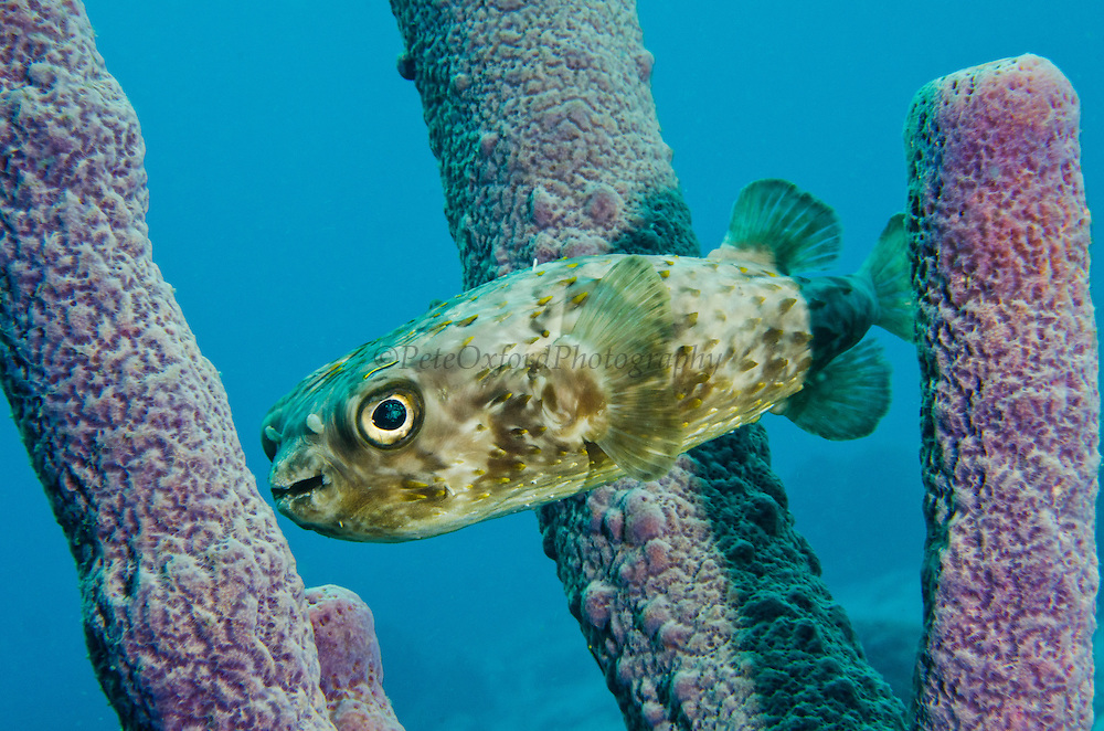 Balloonfish (Diodon holocanthus) in Stove-pipe Sponge (Aplysina archeri)<br /> BONAIRE, Netherlands Antilles, Caribbean<br /> HABITAT & DISTRIBUTION: Grassy areas, mangroves and reefs.<br /> Florida, Bahamas, Caribbean, Gulf of Mexico, Bermuda north to Massachusetts and south to Brazil.