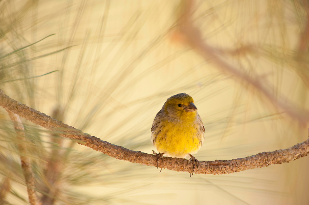 Canary bird (Serinus canaria) in eide National Park, Tenerife Island, Canary Islands, Spain.