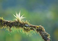 Bromeliad, Tandayapa Valley, Ecuador