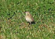 Richard's Pipit - Anthus richardi. In spring and autumn, it is worth checking any flocks of migrant pipits and wagtails you come across for one of their rarer cousins, vagrants from Asia. Richard's Pipit Anthus richardi (L 17-20cm) is larger than a Meadow Pipit with a much longer tail and legs.