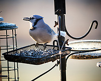 Blue Jay. Image taken with a Fuji X-H1 camera and 200 mm f/2 lens with 1.4x teleconverter
